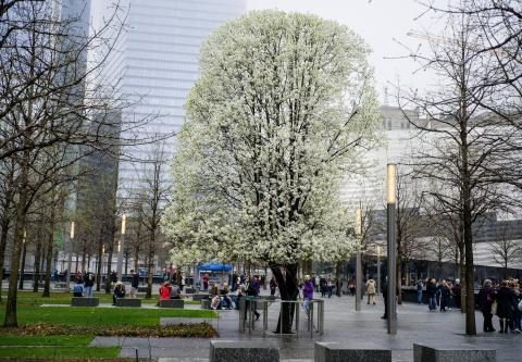 The Survivor Tree blooms on 9/11 Memorial Plaza, its white flowers contrasting with the leafless swamp white oaks surrounding it.