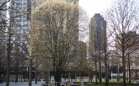 A lone tree sports springtime buds on the empty 9/11 Memorial plaza.