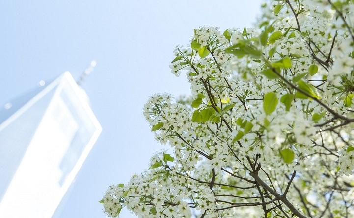 A view looking up toward a sunny sky shows One World Trade Center towering over the branches of blooming Callery pear tree with white flowers.A view looking up toward a sunny sky shows One World Trade Center towering over the branches of blooming Callery pear tree with white flowers.